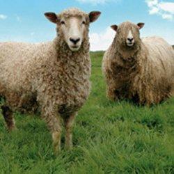 British Wool sheep