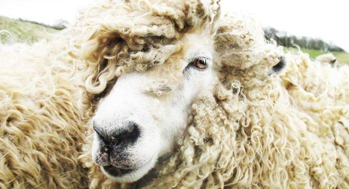 British sheepskin, leather, wool, wool week